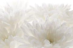 Предпосылка белых свежих красивых хризантем абстрактная Стоковое Изображение