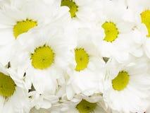 Предпосылка белых хризантем Стоковая Фотография RF