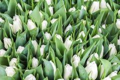 Предпосылка белых цветков тюльпана Стоковое Изображение RF