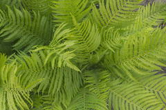 Предпосылка больших кожистых листьев 2 Стоковая Фотография