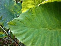 Предпосылка больших тропических зеленых лист естественная Листья растительности a Стоковая Фотография RF