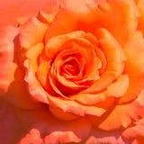Предпосылка бутона красных роз Стоковое Фото