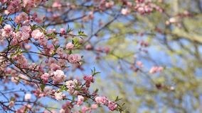 Предпосылка весны дерева Сакуры сток-видео