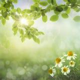 Предпосылка весны. Маргаритки стоковые фото
