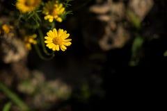 Предпосылка весны, маленькие желтые цветки Стоковое фото RF