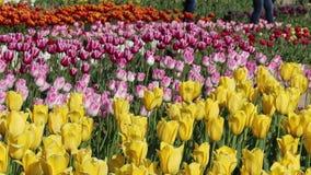 Предпосылка весны поля тюльпана сток-видео