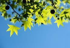 Предпосылка весны свежих зеленых листьев Стоковая Фотография