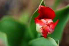Предпосылка весны с красным тюльпаном Стоковое Изображение RF