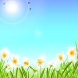 Предпосылка весны с narcissus daffodil цветет, зеленая трава, ласточки и голубое небо Стоковое Изображение RF