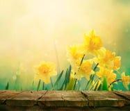 Предпосылка весны Daffodil стоковое фото rf