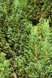 Предпосылка ветвей сосны Стоковые Фото