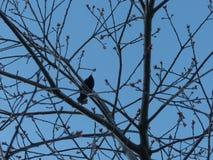 Предпосылка ветви дерева птицы силуэта сидя Стоковые Изображения RF