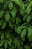 Предпосылка ветви ели Стоковая Фотография RF