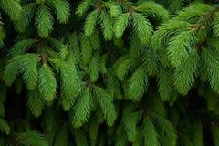 Предпосылка ветви ели Стоковые Изображения RF