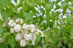 Предпосылка, ветвь дерева с белыми цветками, против предпосылки зеленых листьев, в целом рамка Горизонтальная рамка Стоковое фото RF