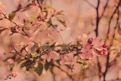 Предпосылка вишневого цвета весны в винтажных пастельных тонах Стоковая Фотография
