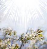 Предпосылка вишневого цвета весны Стоковое Изображение RF