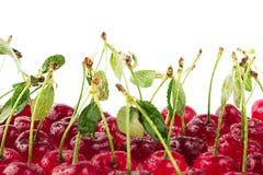 Предпосылка вишни Пуки зрелых сочных богатых сияющих вишен на белой предпосылке Стоковые Изображения