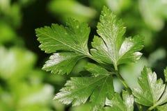 предпосылка вмещаемости создает изолированную белизну листьев поменянную петрушкой Стоковые Изображения