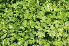 предпосылка вмещаемости создает изолированную белизну листьев поменянную петрушкой Стоковые Фотографии RF