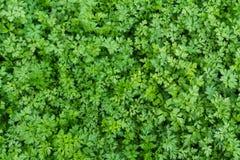 предпосылка вмещаемости создает изолированную белизну листьев поменянную петрушкой Стоковое фото RF