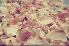 Предпосылка высушенных лепестков розы Стоковая Фотография RF