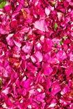 Предпосылка высушенных розовых лепестков розы Стоковое Изображение RF