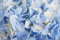 Предпосылка гортензии лета флористическая Стоковая Фотография