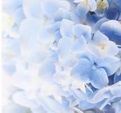 Предпосылка гортензии флористическая Стоковые Изображения RF