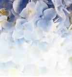 Предпосылка гортензии флористическая Стоковые Фотографии RF