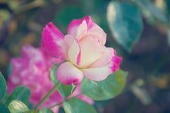 Предпосылка года сбора винограда розовая на лете Стоковое Изображение RF