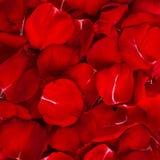 Предпосылка лепестков розы Стоковое фото RF