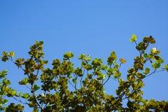 Предпосылка дерева и голубого неба Стоковые Фотографии RF