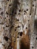 Предпосылка дерева с повреждением Woodpecker Стоковое фото RF