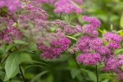 Предпосылка лета травы и цветков Japonica Spiraea Стоковое Изображение
