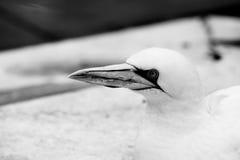 Предпосылка летящей птицы Basstölpel животной черной изолированная белизной Стоковое Изображение RF