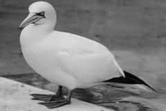 Предпосылка летящей птицы Basstölpel животной черной изолированная белизной Стоковые Изображения RF