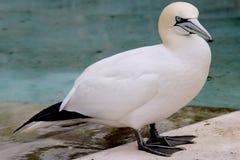 Предпосылка летящей птицы Basstölpel животной черной изолированная белизной Стоковые Фотографии RF