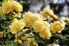 Предпосылка желтых роз Стоковые Фотографии RF