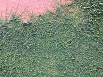 Предпосылка зеленого растения велкро взбираясь на красной стене Стоковые Фото