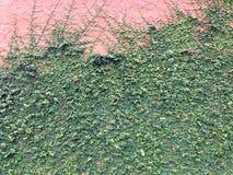 Предпосылка зеленого растения велкро взбираясь на красной стене Стоковое Изображение RF