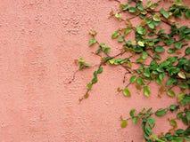Предпосылка зеленого растения велкро взбираясь на красной стене Стоковая Фотография
