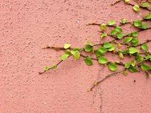 Предпосылка зеленого растения велкро взбираясь на красной стене Стоковые Изображения