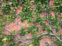 Предпосылка зеленого растения велкро взбираясь на красной стене Стоковые Изображения RF