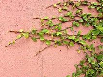 Предпосылка зеленого растения велкро взбираясь на красной стене Стоковое Изображение