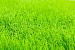 Предпосылка зеленой травы близкий свежий зеленый цвет травы вверх Предпосылка для надписей Стоковая Фотография
