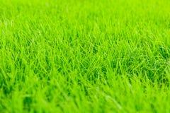Предпосылка зеленой травы близкий свежий зеленый цвет травы вверх Предпосылка для надписей Стоковые Изображения