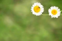 Предпосылка зеленой травы и цветков и насекомого белой маргаритки Стоковое Изображение RF