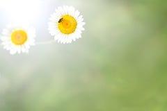 Предпосылка зеленой травы и цветков и черепашки белой маргаритки Стоковое фото RF
