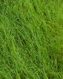 Предпосылка зеленой травы Стоковое Изображение RF